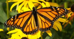 female-monarch