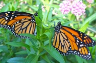 monarch-butterfiles-female-left-male-right-milkweed-c2a9kim-smith-2012